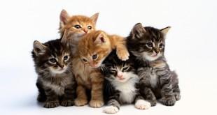صورة حياة القطط المنزلية , انواع غريبة من القطط انقرضت