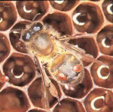 بالصور رؤية النحل في المنام 12112