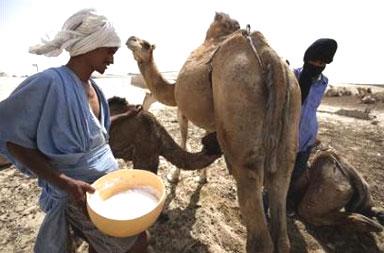صورة لبن الابل , لو تعلم فوائده لاصبحت مدمن لحليب الابل
